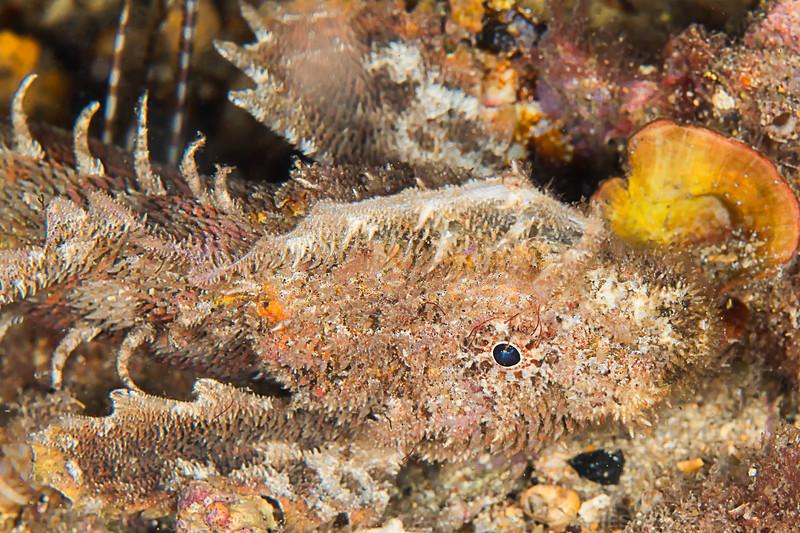 Southern Velvetfish - Edithburgh Dive #2 (:84)
