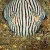 Pyjama Squid - Edithburgh Dive #2 (:79)