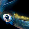 Southern Calamari Squid - Edithburgh Dive #2 (:21)