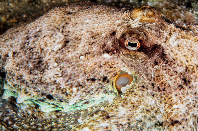 Southern Keeled Octopus - Edithburgh Dive #2 (:52)