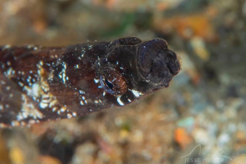 Ringback Pipefish - Edithburgh Dive #2 (:61)