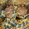 Southern Blue-Ringed Octopus - Edithburgh Dive #2  (:14)