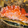 Short Tailed Ceratosoma Nudibranch