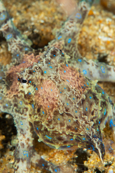 Southern Blue-Ringed Octopus - Edithburgh Dive #2 (:06)