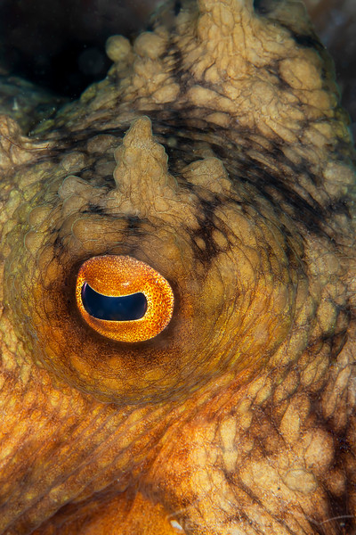 Maori Octopus - Edithburgh Dive #2 (:10)