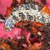 Hypselodoris Saintvincentius Nudibranch - Edithburgh Dive #1