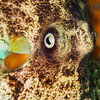 Southern Keeled Octopus