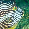Ornate Cowfish - Edithburgh Dive #1