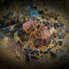 Southern Blue-Ringed Octopus - Edithburgh Dive #2 (:70)