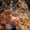Giant Cuttlefish - Edithburgh Dive #2 (:81)