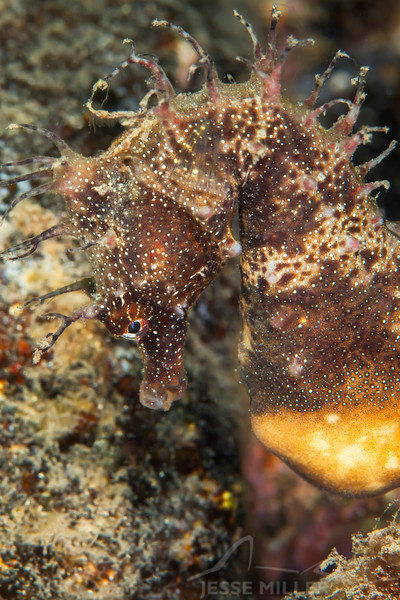 Southern Pot-Belly Seahorse