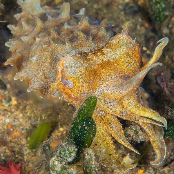 Juvenile Cuttlefish - Edithburgh Dive #2 (:83)