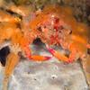 Spider Crab - Edithburgh Dive #2 (:24)