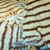 Pyjama Squid - Edithburgh Dive #2 (:77)