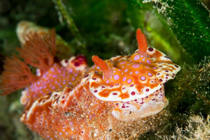 Short Tailed Ceratosoma Nudibranch - Edithburgh Dive #1