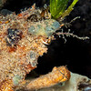Decorator Crab - Edithburgh Dive #1