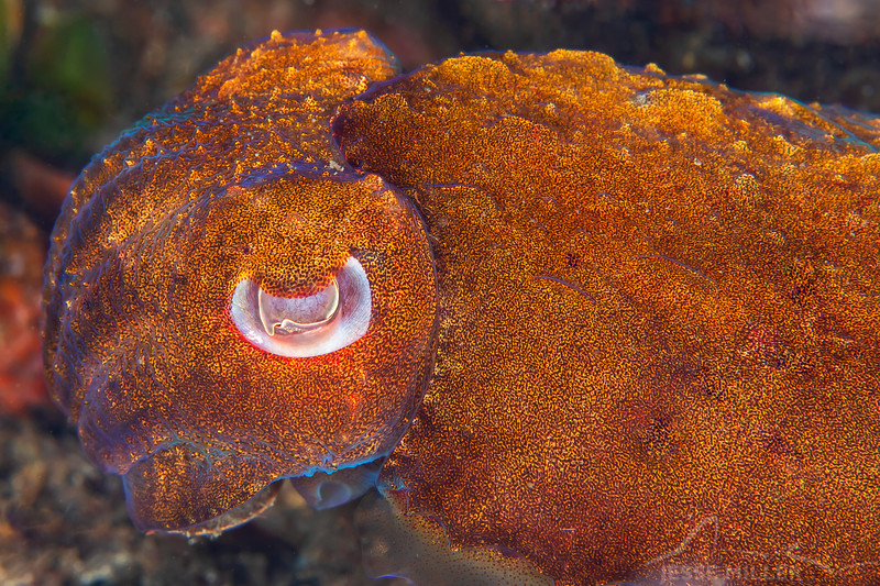Juvenile Giant Cuttlefish - Edithburgh Dive #2 (:57)