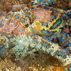 Southern Blue-Ringed Octopus - Edithburgh Dive #2 (:88)