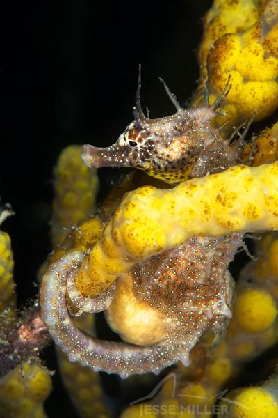 Southern Pot-Belly Seahorse - Edithburgh Dive #2 (:30)