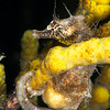 Southern Pot-Belly Seahorse - Edithburgh Dive #2 (:30)