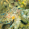 Southern Blue-Ringed Octopus