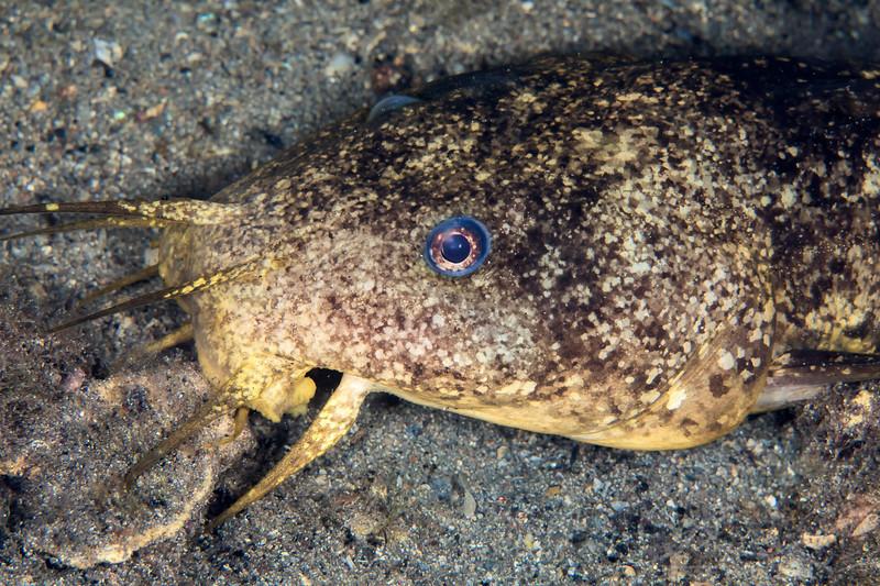 South Australia Catfish - Edithburgh Dive #2 (:55)