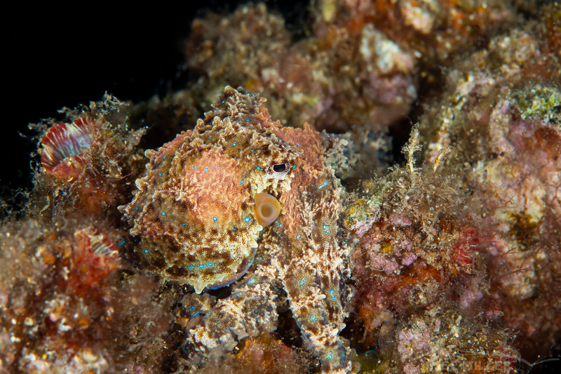 Southern Blue-Ringed Octopus - Edithburgh Dive #2 (:65)
