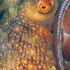 Southern White-Spotted Octopus - Edithburgh Dive #2 (:73)