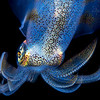 Southern Calamari Squid