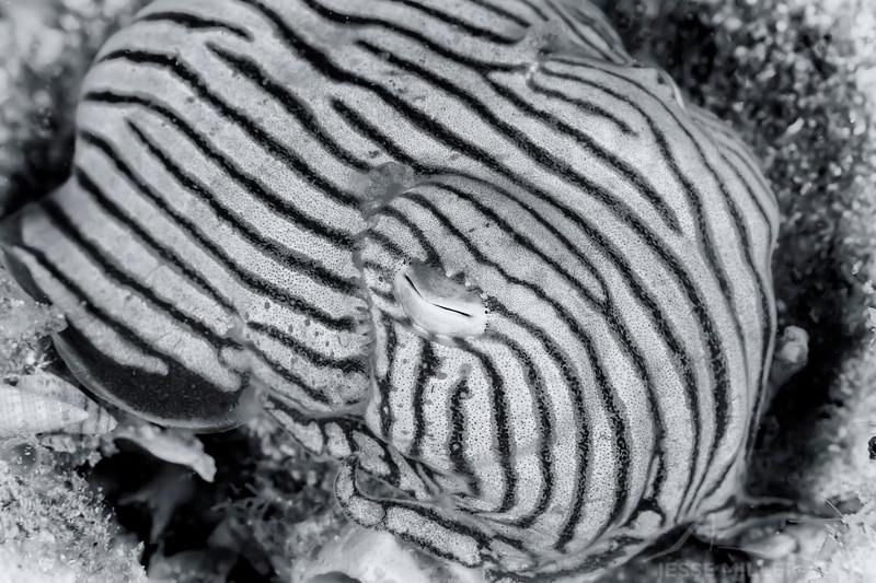 Pyjama Squid - Edithburgh Dive #2 (:78)