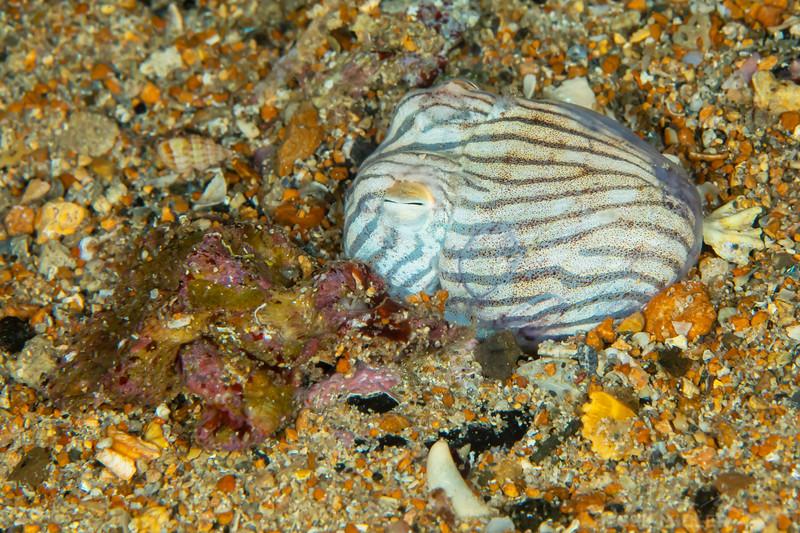 Pyjama Squid - Edithburgh Dive #2 (:87)