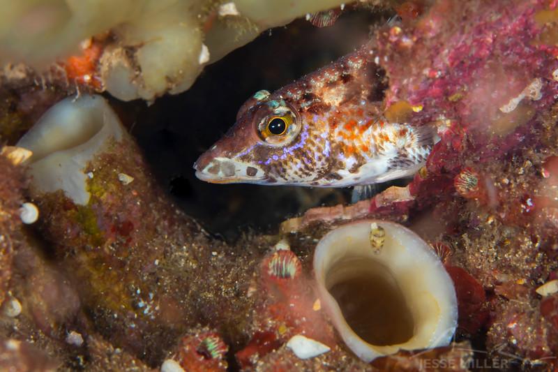 Fish (Need ID) - Edithburgh Dive #2 (:67)