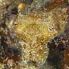 Juvenile Giant Cuttlefish - Edithburgh Dive #2 (:24)
