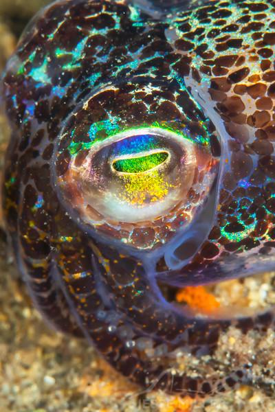 Bobtail Squid - Edithburgh Dive #2 (:48)