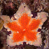 Southern Biscuit Starfish