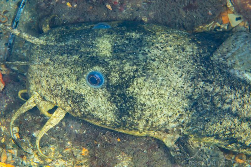 South Australia Catfish