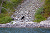 On the way back on the cruise, we saw another bear.  The captain cut the engine and let us drift close to the shore.  This was our 11th (and final) bear sighting on the trip!