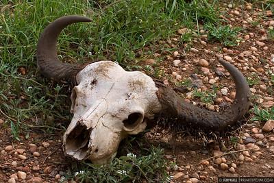 IMG_2601  Cape Buffalo Skull