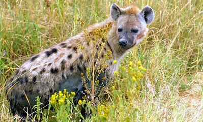 Spotted Hyena, Tanzania