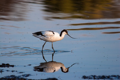 Black-capped Avocet
