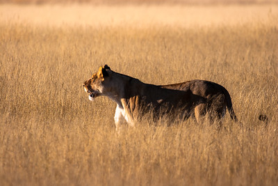 Lioness at sunrise