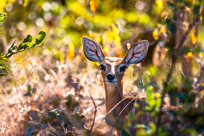Steenbok on the way to Savuti