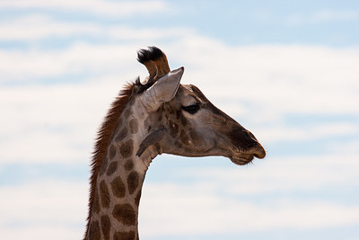 Red-billed oxpecker on this giraffe