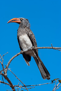 Yello-billed Hornbill