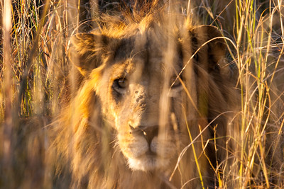 Lion hiding in the thick savannah grass