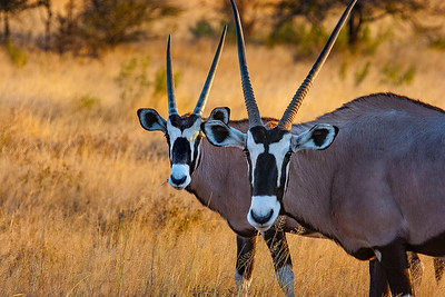 Oryx and young
