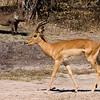 A warthog eyes an impala...