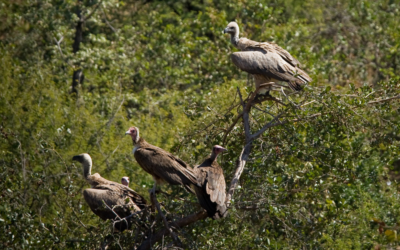 Vultures: they know when it's feeding time.