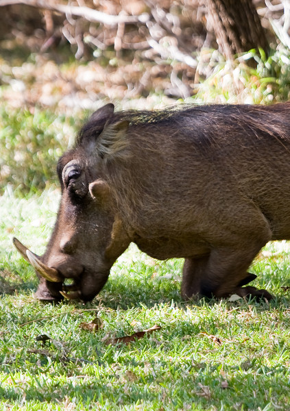 """One of the MANY warthogs enjoying the grass on the grounds.  They are called the """"lodge dogs"""" because they are so ubiquitous.  Tasty, too."""