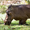 "One of the MANY warthogs enjoying the grass on the grounds.  They are called the ""lodge dogs"" because they are so ubiquitous.  Tasty, too."